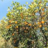 tangerine dub by the farmer (Digital) 3